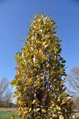Quercus ×warei 'Long' PP 12673 (REGAL PRINCE® Ware's Oak), habit, fall