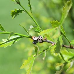 Quercus ×warei 'Nadler' PP 17604 (KINDRED SPIRIT™ Ware's Oak), leaf, new