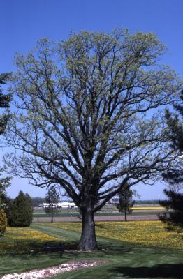 Quercus macrocarpa (bur oak), habit