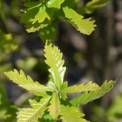 Quercus ×warei (Ware's Oak), gall, twig