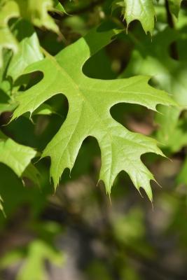 Quercus ×sternbergii (Sternberg's Oak), leaf, upper surface