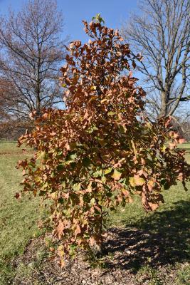 Quercus ×warei (Ware's Oak), habit, fall