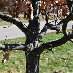Quercus ×sternbergii (Sternberg's Oak), leaf, fall