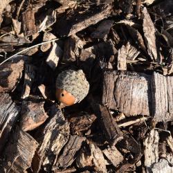 Quercus ×sternbergii (Sternberg's Oak), leaf, lower surface