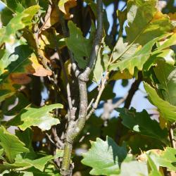 Quercus ×warei (Ware's Oak), leaf, new