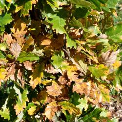 Quercus alba (White Oak), Quercus macrocarpa (Bur Oak), habit, spring