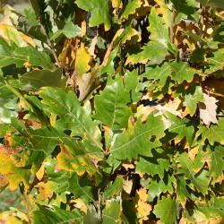 Quercus ×warei (Ware's Oak), leaf, upper surface