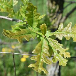 Quercus ×sternbergii (Sternberg's Oak), inflorescence