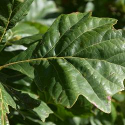 Quercus ellipsoidalis (Hill's Oak), bark, trunk