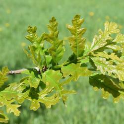 Quercus ×sternbergii (Sternberg's Oak), bark, twig