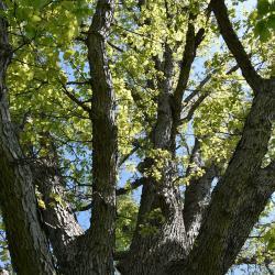 Quercus 'K. B. Crystal' (K. B. Crystal Oak), bark, branch