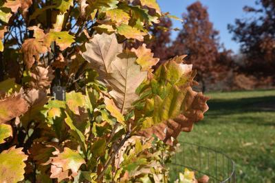 Quercus ×warei 'Long' PP 12673 (REGAL PRINCE® Ware's Oak), leaf, fall