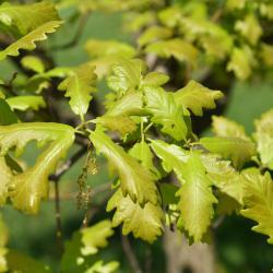 Quercus ×warei 'Long' PP 12673 (REGAL PRINCE® Ware's Oak), habit, spring