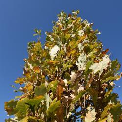 Quercus ×warei (Ware's Oak), gall