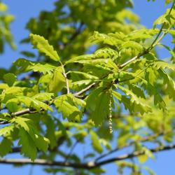 Quercus ×subfalcata (Southern Red-Willow Hybrid Oak), leaf, summer