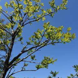 Quercus ×macdanielii 'Clemons' PP 11431 (HERITAGE® Macdaniel's Oak), leaf, spring