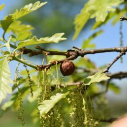 Quercus 'K. B. Crystal' (K. B. Crystal Oak), flower, staminate