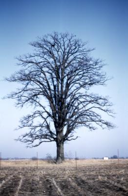 Quercus macrocarpa (bur oak), habit, late winter