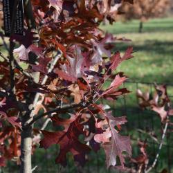 Quercus ×warei 'Long' PP 12673 (REGAL PRINCE® Ware's Oak), leaf, new