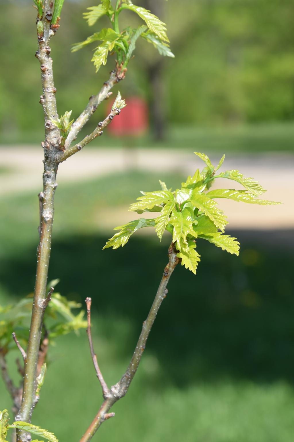 Quercus ×warei 'Nadler' PP 17604 (KINDRED SPIRIT™ Ware's Oak), bark, twig