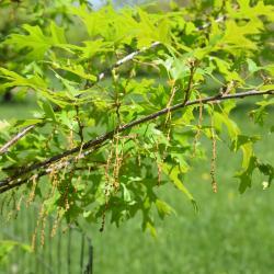 Quercus ×warei 'Long' PP 12673 (REGAL PRINCE® Ware's Oak), leaf, lower surface