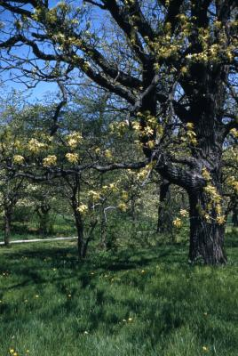 Quercus macrocarpa (bur oak), trunk and branches