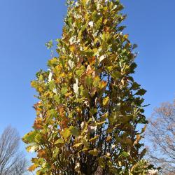 Quercus ×warei 'Nadler' PP 17604 (KINDRED SPIRIT™ Ware's Oak), leaf, spring