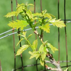 Quercus alba (white oak), trunk