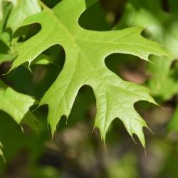 Quercus ×warei 'Nadler' PP 17604 (KINDRED SPIRIT™ Ware's Oak), habit, fall