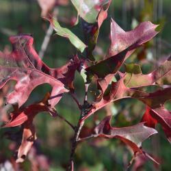 Quercus ×warei 'Long' PP 12673 (REGAL PRINCE® Ware's Oak), leaf, spring