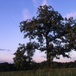 Ulmus ×hollandica 'Klemmer' (Klemmer Netherland Elm), habit, summer