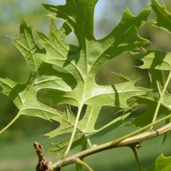Quercus ×warei 'Nadler' PP 17604 (KINDRED SPIRIT™ Ware's Oak), bark, twig