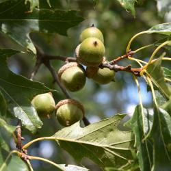 Quercus ×warei 'Nadler' PP 17604 (KINDRED SPIRIT™ Ware's Oak), inflorescence