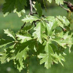 Quercus 'K. B. Crystal' (K. B. Crystal Oak), inflorescence