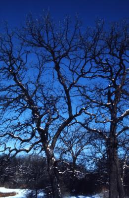 Quercus macrocarpa, (bur oak), habit, winter