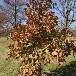 Quercus ellipsoidalis (Hill's oak), habit, early spring