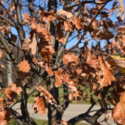 Quercus ×warei 'Long' PP 12673 (REGAL PRINCE® Ware's Oak), gall, twig