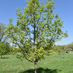 Quercus ×subfalcata (Southern Red-Willow Hybrid Oak), fruit, immature