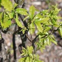 Quercus ellipsoidalis (Hill's oak), bud detail