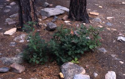 Quercus gambelii (Gambel's oak), small shrub near rocky ground