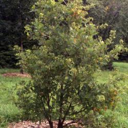 Quercus imbricaria (shingle oak), habit, late winter