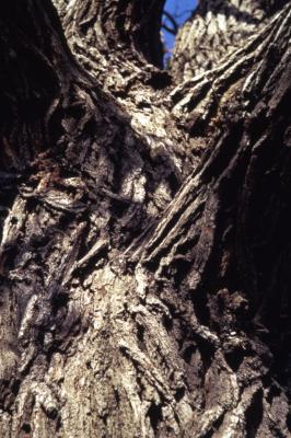 Quercus macrocarpa (bur oak) , bark