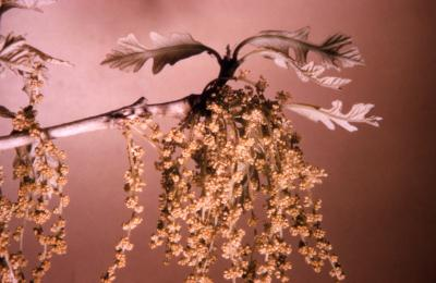 Quercus macrocarpa (bur oak), catkins detail