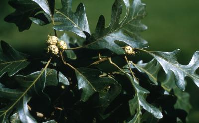 Quercus macrocarpa (bur oak), new acorns and leaves