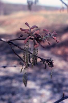Quercus marilandica (blackjack oak), catkins and emerging leaves