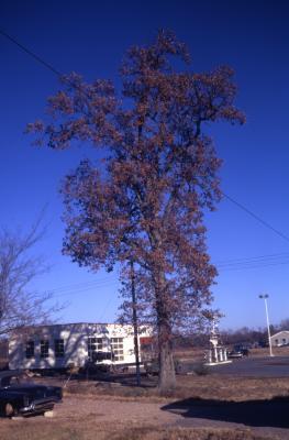 Quercus lyrata (overcup oak), habit, fall