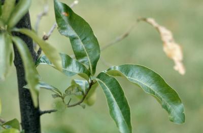 Quercus imbricaria (shingle oak), leaves