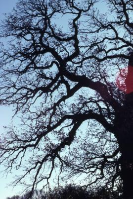 Quercus macrocarpa (bur oak), dense branches
