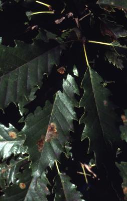 Quercus muehlenbergii (chinkapin oak), leaves