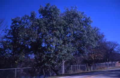 Quercus muehlenbergii (chinkapin oak), habit, fall